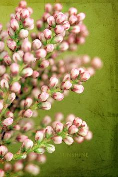 Pink blossom flower buds