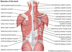 Details of the human back muscles. Most tips say that I should always rub muscles towards the heart.