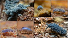 World-wide blue Collembola