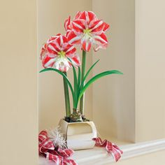 Giant Grand Trumpet® Candy Cane Amaryllis: This candy-cane striped Amaryllis dazzles with its color and huge blooms! Grand Trumpets® are the largest, longest-lasting Amaryllis, and this variety has a particularly merry face. Christmas Flowers, Christmas Home, Bulb Flowers, Floral Flowers, Amaryllis Bulbs, Trumpets, Gardening Supplies, Garden Gifts, Winter Colors