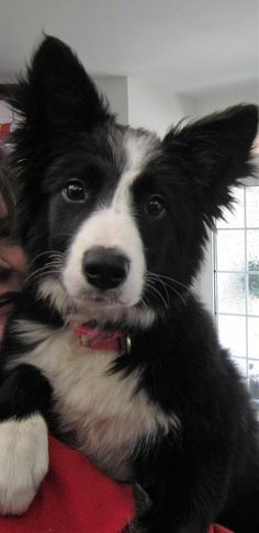 """Puppy Asha the border collie ...A Natural Poser for the camera...""""How Adorable am I...?"""""""