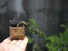 Mame Bonsai, Minis, Bonsai Styles, Potted Plants, Plant Pots, Bonsai Garden, Small Trees, Ikebana, Trees To Plant