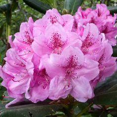 Coast Rhododendron: In mid- to late spring, compact trusses of rose, purple, or white flowers bloom. Its evergreen foliage provides a leafy backdrop year-round. Suitable for sun, it can grow to an impressive 15 feet tall and wide. | Photo: Gregory MD./Photo Researchers/Getty