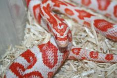 Candy Cane Corn Snake Looks just like Vegas