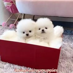 White Pomeranian, Teacup Pomeranian, Teacup Puppies, Toy Poodle Puppies, Rottweiler Puppies, Dachshund Puppies, English Bulldog Puppies, Siberian Husky Puppies, Puppy Chow
