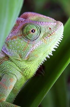 It is now believed that chameleons change colour not so much to blend into the surroundings, but rather to signal, fend off rivals, or attract a mate