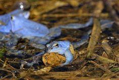 Chyba! Samce skokana ostronosého ošálily jeho oči. Ty vnímají především pohyblivé předměty, a žabák se tedy vrhá na cokoli hnědého v okolí, co se hýbá. Tentokrát však mezi modré nápadníky zabloudil sa