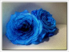 two blue roses