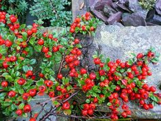 Cotoneaster Horizontalis - Cotoneasters are a group of shrubs much overlooked as they have fantastic flowers attractive to bees and great autumn berries a real friend of wildlife making a great addition to the garden.