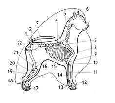 Pomeranian skeletal structure.