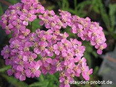 Common Yarrow 'Heidi' (Achillea millefolium)