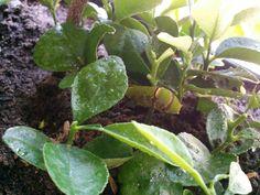 Caterpillar hiding under calamansi seedlings...