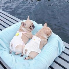 Funny Animal Pictures, Cute Funny Animals, Cute Baby Animals, Cute Cats, Animals Dog, Cute French Bulldog, French Bulldog Puppies, French Bulldogs, Cute Bulldogs