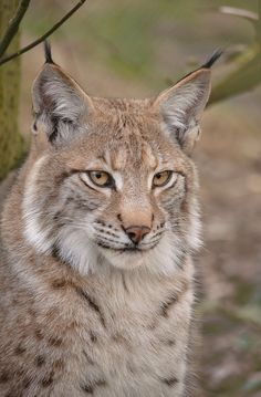 lynx - Famous Last Words Lynx Boréal, Eurasian Lynx, Rare Animals, Cute Baby Animals, Animals And Pets, Beautiful Cats, Animals Beautiful, Lynx Du Canada, Bears