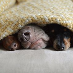 As of this past December, the adorable canine duo Harlow and Indiana have welcomed a new little sister to the family! Reese (also called Reese Lightning), a miniature dachshund, was greeted with curious looks and cautious sniffs when she first arrived, but as these heartwarming photos show, she quickly joined in her older sisters' daily …