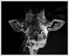 """smiling giraff"""