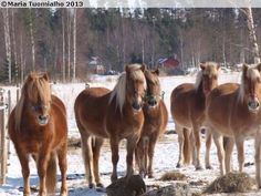 Kuva Farm Animals, Funny Animals, All About Horses, Horse Breeds, Funny Animal Pictures, Beautiful Horses, Finland, Dogs And Puppies, Scenery
