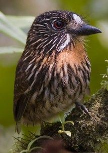 Black-streaked Puffbird (Malacoptila fulvogularis) - a species of puffbird in the Bucconidae family. It is found in Bolivia, Colombia, Ecuador, and Peru. Its natural habitat is subtropical and tropical moist montane forests.