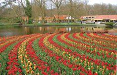 The world's largest flower garden: Keukenhof, or Kitchen Garden, located in Amsterdam. More than 7 million tulip bulbs are planted annually in the park.