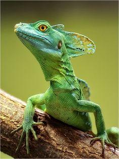 llbwwb: Plumed Basilisk (Basiliscus plumifrons) by. - llbwwb: Plumed Basilisk (Basiliscus plumifrons) by… - Les Reptiles, Cute Reptiles, Reptiles And Amphibians, Mammals, Unusual Animals, Rare Animals, Animals And Pets, Beautiful Creatures, Animals Beautiful