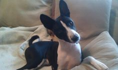 My Basenji Loki and one of of his many expressions :)