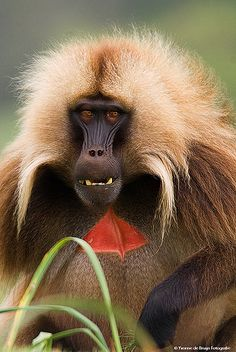 A gelada baboon - among my favorite primates. Fascinating colors and behavior!