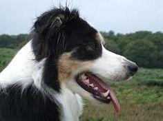 Brisket is Reagan Matthews's dog. (Tri-colored Border Collie)