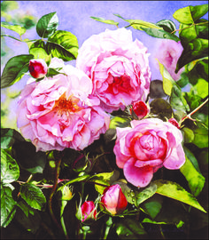 'Constance Spry'. Watercolor. Painting by Susan Harrison-Tustain.