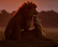 Lions mating at sunset