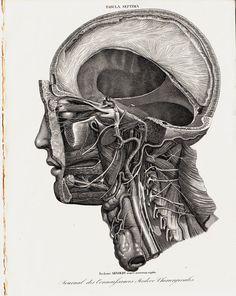 1835 Antique head ANATOMY print fine by TwoCatsAntiquePrints, $45.00