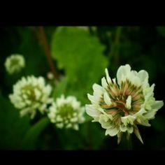 Flowers, clovers