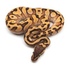 Pastel Enchi Mojave Het Orange Ghost Ball Python by Kicks Balls - MorphMarket USA Snakes With Hats, Small Snakes, Python Drawing, Python Royal, Dog Drawing Simple, Python Regius, Ball Python Morphs, Beautiful Snakes, Reptiles And Amphibians