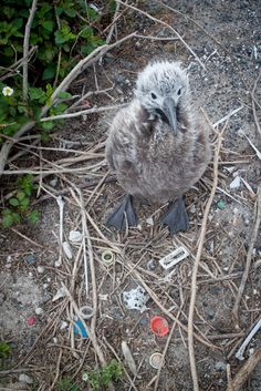 Coming to Grips with Plastic Pollution, One Bird at a Time  #plastic #pollution