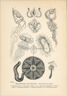 Your place to buy and sell all things handmade Jellyfish Art, Ernst Haeckel, Life Aquatic, Marine Biology, Antique Prints, Marine Life, Vintage World Maps, Flora, Ocean