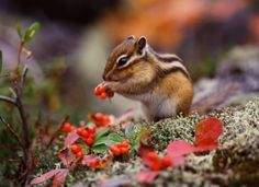 Having one of these Cute Baby Animals as little pets will not just complete your home but it is also something that you can be really proud off. Chipmunks, Nature Animals, Animals And Pets, Autumn Animals, Spring Animals, Small Animals, Baby Chipmunk, Baby Squirrel, Foto Nature