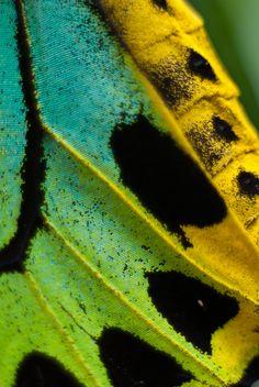 butterfly wing.