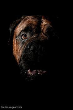 Bullmastiff portrait...TOF