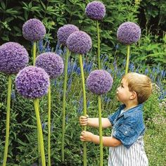 Gladiator Allium acts like a beacon for beneficial pollinators. Whether in flower beds or along borders or walkways, these charming, fragrant perennials stand up to 60 in. tall and attract bees and butterflies Flower Garden, Perennial Bulbs, Tiny Flowers, Plants, Hydrangea Care, Rare Flowers, Perennials, Allium, Low Maintenance Plants