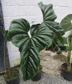 Indoor Benches - A Single Is Ideal For Creating A Cozy Den House Anthurium Bullatus Big Leaf Plants, Leafy Plants, Foliage Plants, Exotic Plants, Garden Plants, Plant Leaves, Shade Garden, Indoor Garden, Indoor Plants