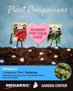 Radishes and spinach make a great pair! Learn how companion planting will help you get more from your garden. http://www.menards.com/main/c-19320.htm?utm_source=pinterest&utm_medium=social&utm_campaign=gardencenter&utm_content=companion-plants&cm_mmc=pinterest-_-social-_-gardencenter-_-companion-plants