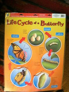 2 SET Educational Charts Life Cycles OF Frogs Butterflies Great Teacher Resource | eBay
