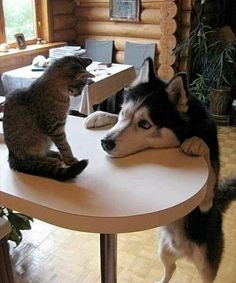"why don't you want to play with me?"" This cat knows who really runs the house.and it's not the adorable husky who only wants to play Cute Puppies, Cute Dogs, Dogs And Puppies, Animals And Pets, Funny Animals, Cute Animals, Animal Pictures, Cute Pictures, Animal Gato"