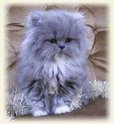 blue smoke persian kitten