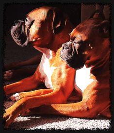 Boxers - love them so much!