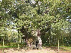 Major Oak at Sherwood Forest http://www.ajsefton.com/#!photography/c1nl6