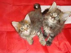 raças de gatos grandes - Pesquisa Google