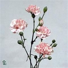 Light Pink Barbara (Fleurette) are a pale pink variety of multi-headed Spray Carnations. 60cm tall & wholesaled 10 stems per wrap. (Also called Dianthus Spray).