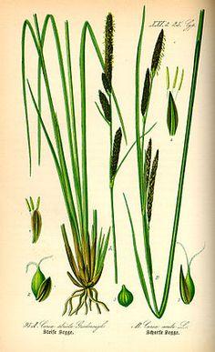 Stijve zegge (Carex elata)