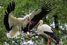 Stork Nicolas Vanier, Stork Bird, Nest Building, Types Of Animals, Beautiful Moments, Bird Feathers, Bald Eagle, Mother Nature, Colorful Backgrounds