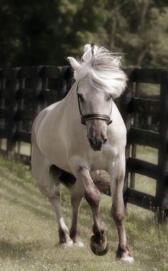 Norwegian Fjord Stallion CH Felles